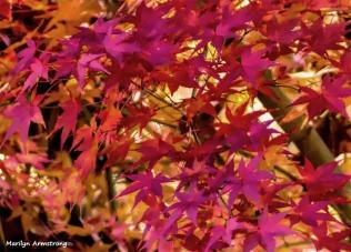 180-Jap-Maple-07112018_031
