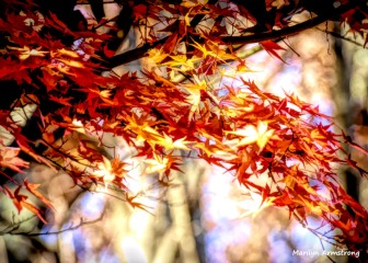 180-Jap-Maple-2-08112018_308