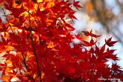 180-Jap-Maple-2-08112018_310