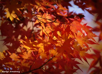 180-Jap-Maple-2-08112018_323