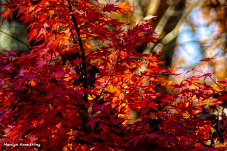 180-Japanese-Maple-3-07112018_304