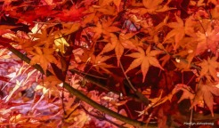 180-Japanese-Maple-3-07112018_306