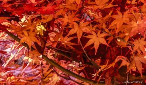180-Japanese-Maple-3-07112018_306