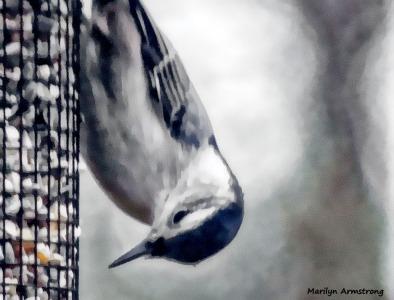 180-Nuthatch-Tuesday-Birds-20181127_417