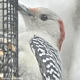 180-Red-Bellied-Woodpecker-Monday-Birds-20181126_315