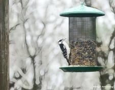 180-Red-Cockaded-Woodpecker-11252018._002
