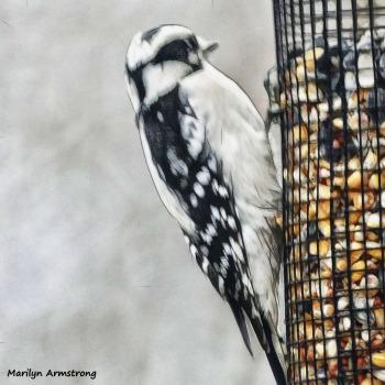 180-Red-Cockaded-Woodpecker-20181125_010