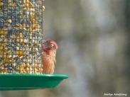 180-Red-Finch-Bird-20181128_025