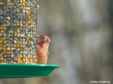 180-Red-Finch-Bird-20181128_025