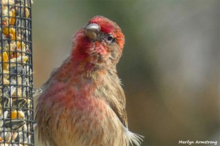 180-Red-Finch-Bird-20181128_029