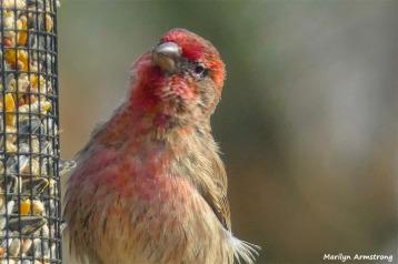 180-Red-Finch-Bird-20181128_029