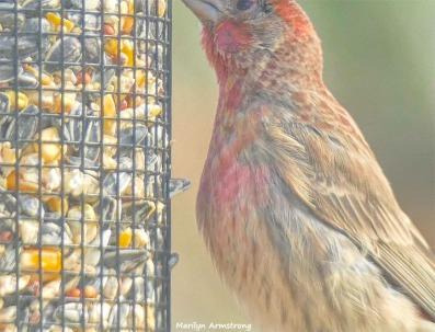 180-Red-Finch-Bird-20181128_034