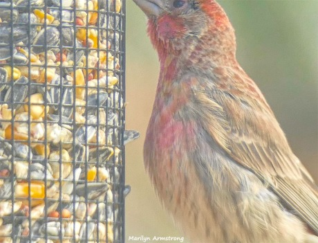 180-Red-Finch-Bird-20181128_034