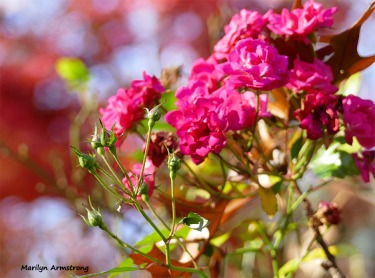 180-Roses-Jap-Maple-2-08112018_327