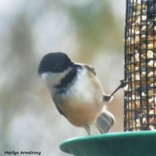 180-Square-Chickadee-Monday-Birds-20181126_307