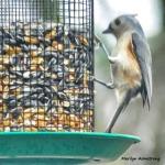 180-Square-Titmouse-Monday-Birds-20181126_304