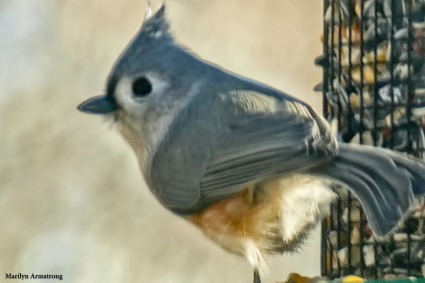 180-Tufted-Titmouse-2-20181123_205
