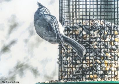 180-Tufted-Titmouse-More-Birds-2-20181123_216