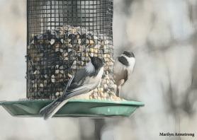 180-Two-Chickadees-More-Birds-2-20181123_232