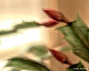 00-impression-buds-christmas-cactus-1-20181124_002