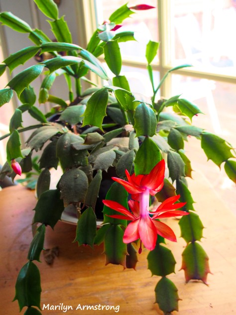 300-thursday-christmas-cactus-20181129_401
