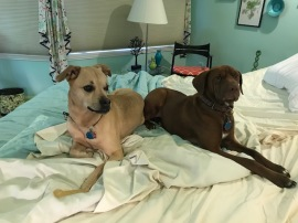 Dogs adjusting to the new bed