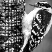 Black & White Downy Woodpecker