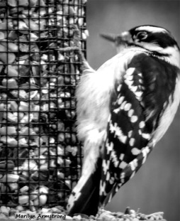 Black & White Downy Woodpecker
