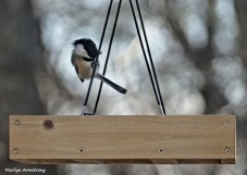 180-Chickadee-Tuesday-Birds-11122018_157