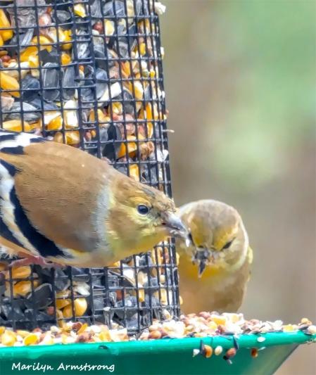 180-Closeup-Warblers-Sunday-Birds-12162018_024