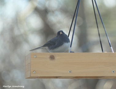 180-Fat-Junco-Tuesday-Birds-12112018_113