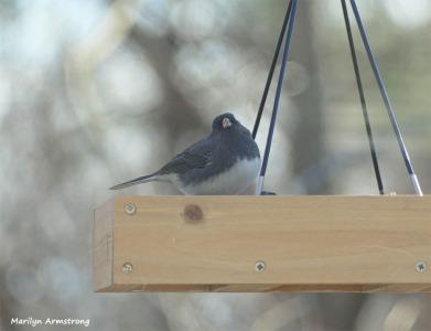 180-Fat-Junco-Tuesday-Birds-12112018_113