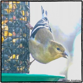 180-Goldfinch-Friday-Birds-12142018_029