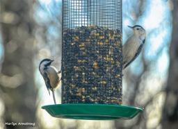 180-Nuthatch-Chickadee-Tuesday-Birds-11122018_139