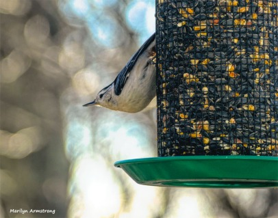180-Nuthatch-Monday-Birds-11122018_150