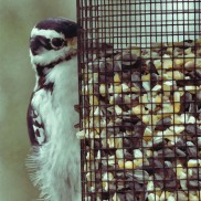 180-Painting-Woodpecker-Saturday-Birds-12152018_147