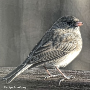 Not quite as fat Slate-colored Junco