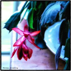 180-Square-Blooming-Thursday-Christmas-Cactus-12132018_004