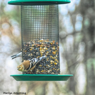 180-Square-Warblers-Thursday-Birds-3-12132018_481