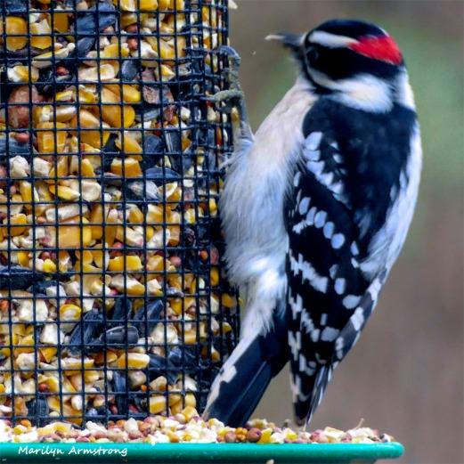 180-Square-Woodpecker-2-Sunday-Birds-12162018_201