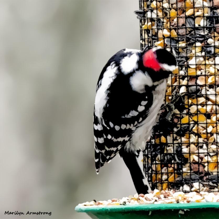 180-Square-Woodpecker-2-Sunday-Birds-12162018_208