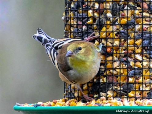 180-Warbler-Small-Saturday-Birds-12152018_013