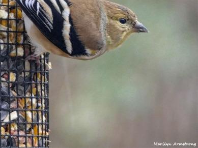 180-Warbler-Sunday-Birds-12162018_004
