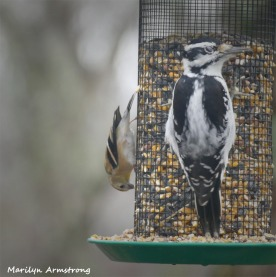 180-Warbler-and-Woodpecker-Saturday-Birds-12152018_135