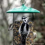 180-Warblers-and-Woodpecker-Saturday-Birds-12152018_140