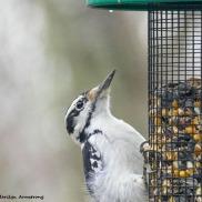 Downy woodpecker - pointy!