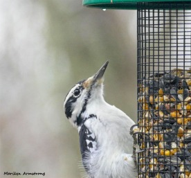 180-Woodpecker-Saturday-Birds-12152018_148