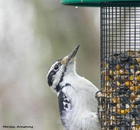 180-Woodpecker-Saturday-Birds-12152018_148