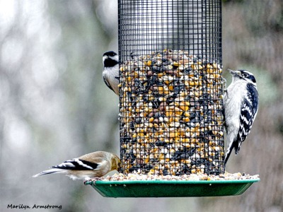 180-Woodpecker-Warbler-Chickadee-2-Sunday-Birds-12162018_240