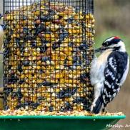 180-Woodpeker-Chickadee-Warbler-2-Sunday-Birds-12162018_223